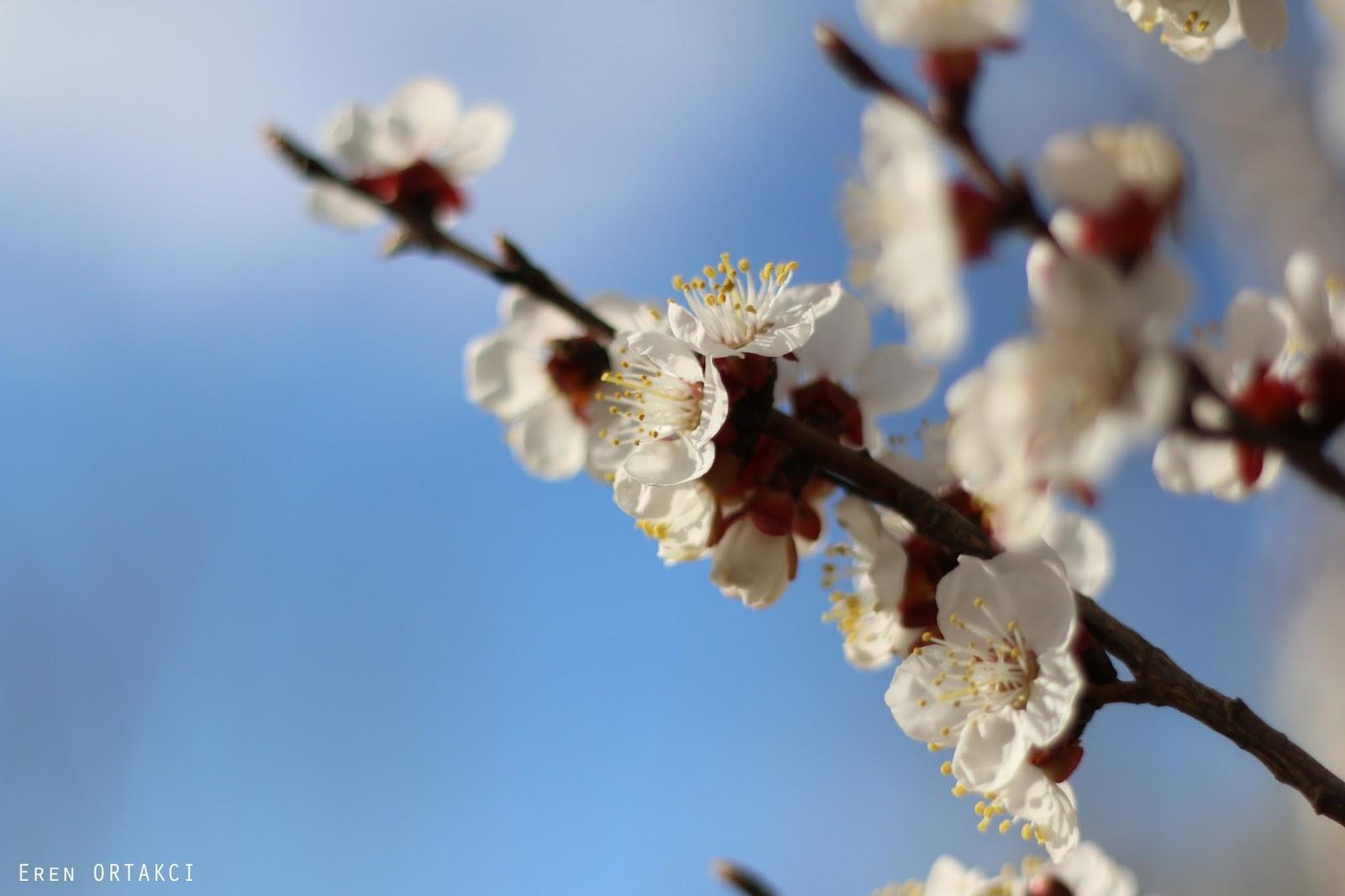 Baharda çiçek Açan Ilk Ağaç Eren Ortakci Fotoğraflar