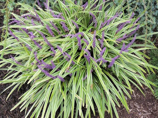 Zones 6 11 Sun Part Shade Full Height 8 16 Width 12 Variegated Liriope Or Lillyturf Is A Wonderful Perennial For All Summer Long With