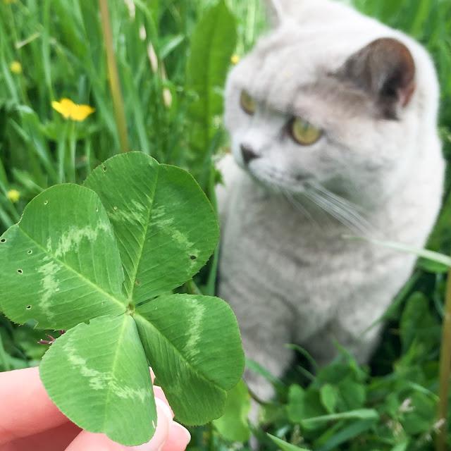 Glücksklee, vierblättriges Kleeblatt, Klee, Lucky Clover, Luck, Four-Leave-Clover, cat, british shorthair, britisch Kurzhaar Katze, lilac, grau