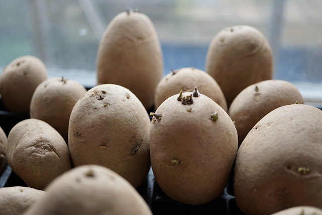potatoes chitting away - a Stubborn Optimist blog - C.Gault