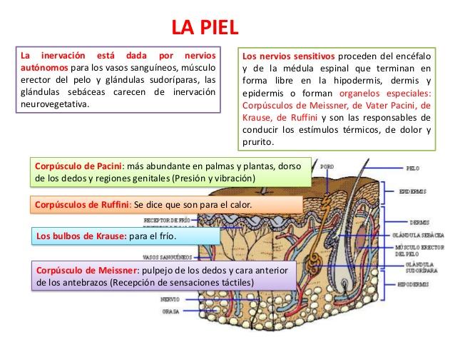 Anatomía y fisiología de la piel