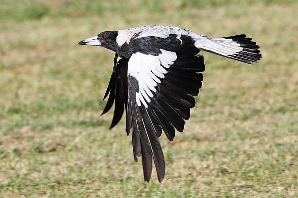 Chim Ác Là Úc