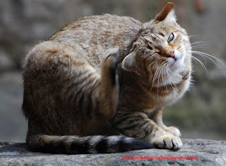 bulu indah dan sehat kucing, bulu kucing yang sehat, cara membasmi kutu pada bulu kucing, cara memelihara kucing, cara merawat bulu kucing, panduan merawat kucing, pengobatan kucing,