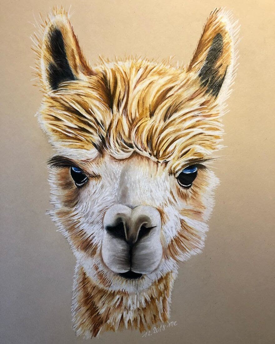 03-Alpaca-Eichenberger-Rodriguez-Colored-Wildlife-Drawings-www-designstack-co