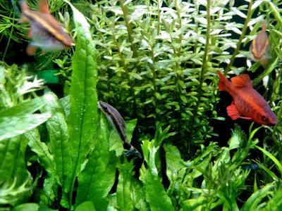 オトシンクルスと水草
