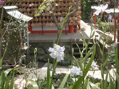 荏柄天神社のシャガ