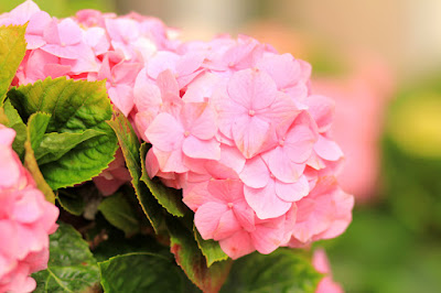 Pink Hydrangea Flowers by Mademoiselle Mermaid