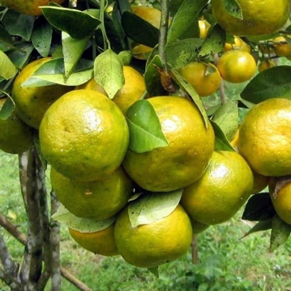 Bibit jeruk keprok siem pontianak sudah berbuah Sumatra Utara