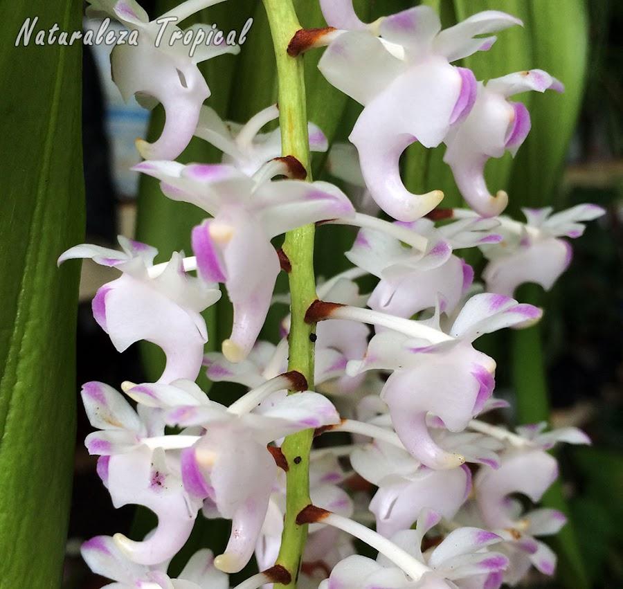 Floración de la Orquídea de Limón, Aerides odorata