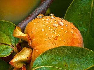 فوائد فاكهة الكاكا،فوائد الكاكا للرجيم،فوائد الكاكا لمرضى السكري،فوائد فاكهة الكاكا واضرارها.