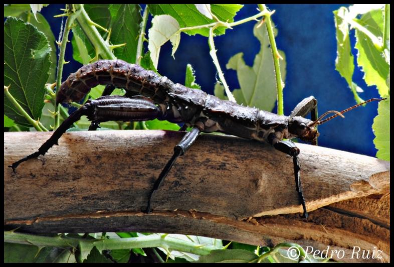 Macho adulto de Eurycantha calcarata, 10 cm de longitud