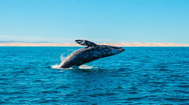 Científicos confirman nueva especie de ballena en Japón