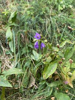 [Campanulaceae] Campanula trachelium - Canterbury Bells (Campanula selvatica)