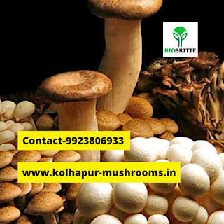 Oyster mushroom protein content