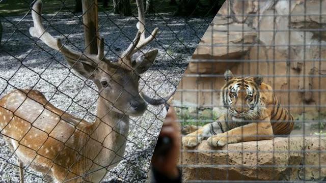 Gegara Corona, Kebun Binatang Bandung Terpaksa Potong Rusa untuk Makanan Macan