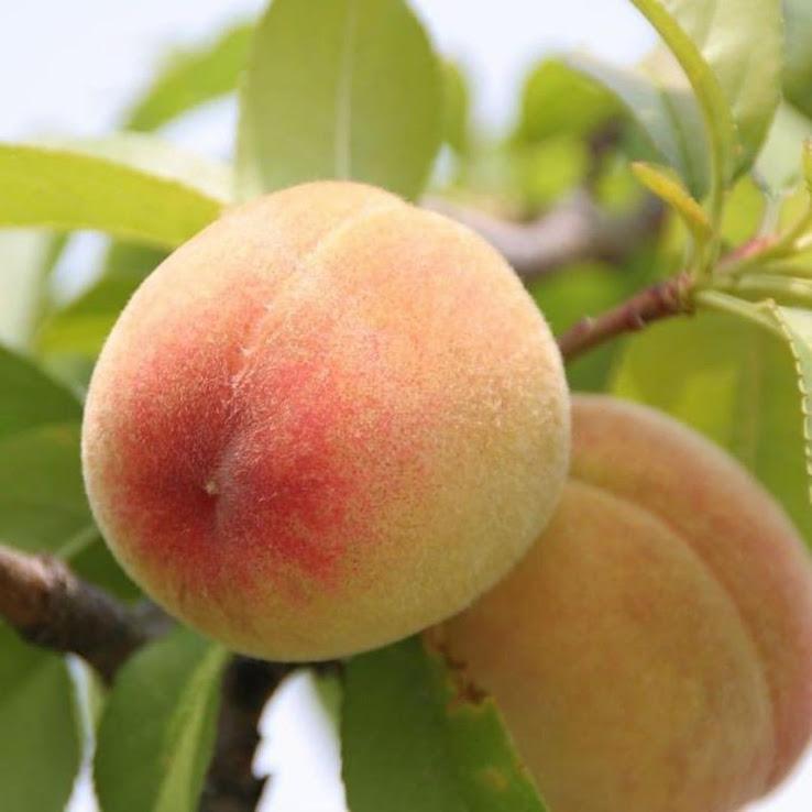 Bibit Tanaman Buah Persik Peach Serang