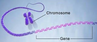 Bentuk- bentuk Kromosom