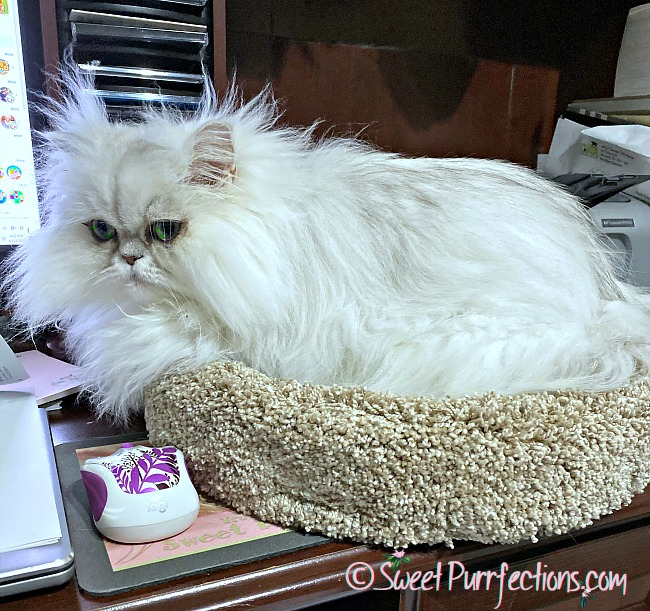 Silver shaded Persian,  Brulee, resting on her Desk Topper