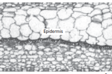 Jaringan Tumbuhan : Epidermis, Parenkim, Kolenkim, Sklerenkim, Xilem, Floem