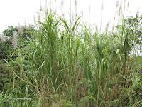 Ornamental sugarcane - Senator Fong's Plantation and Gardens, Oahu, HI