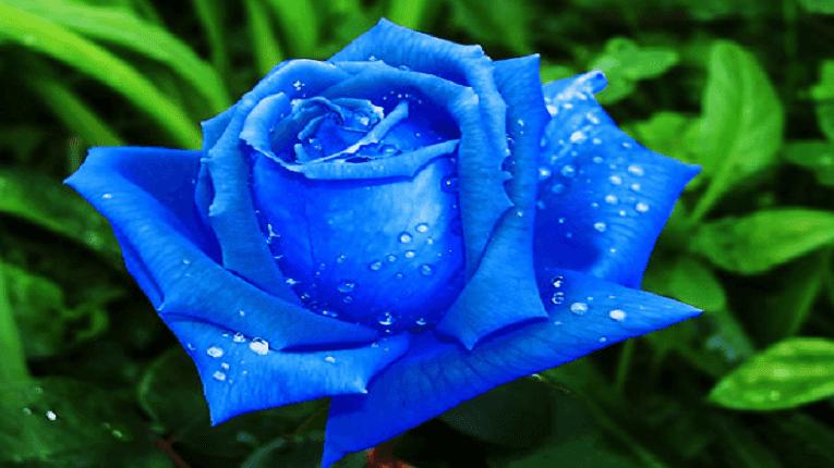Puisi Setangkai Mawar Biru