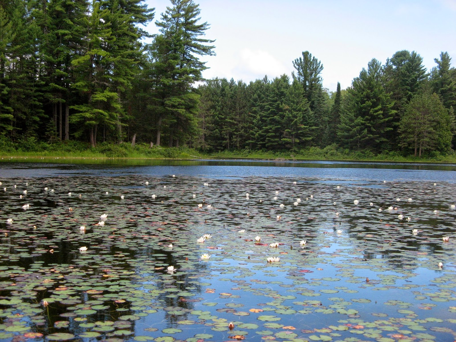Water lilies on the Opeongo River between Kitty Lake and Farm Lake, Algonquin Park