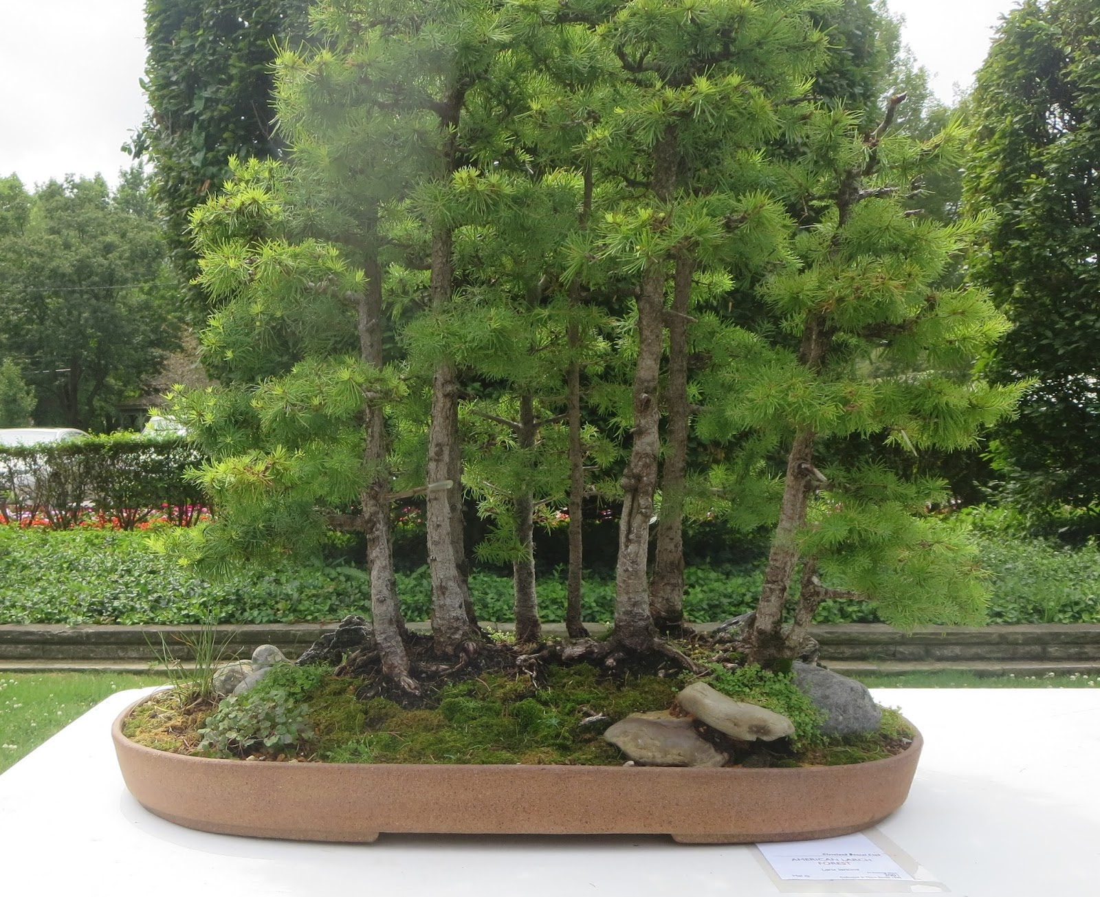 Akron Canton Bonsai Society A Visit To The Cleveland Bonsai Club Outdoor Show