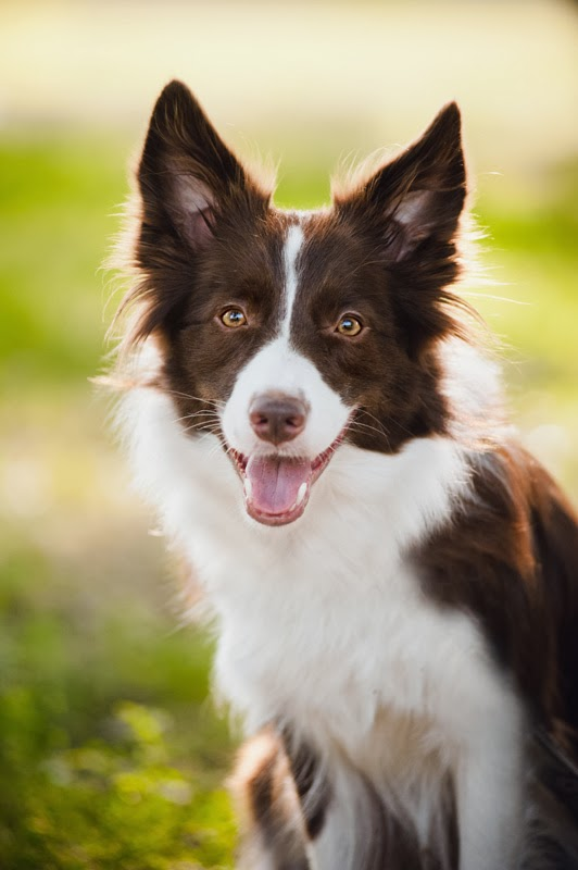 A happy red border collie looks at the camera