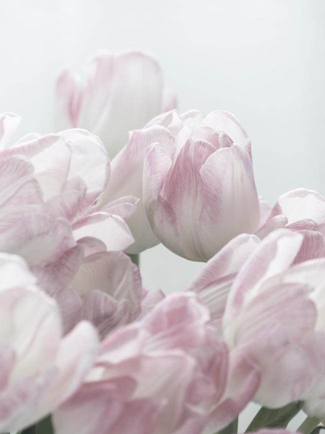 tulppaani, vaaleanpunainen, vaaleanpunainen tulppaani, kukkia,