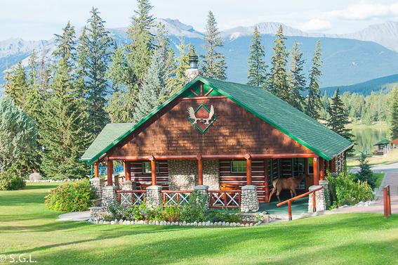 Wapiti hembra en Jasper. Canada