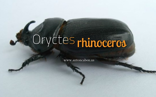 Oryctes rhinoceros