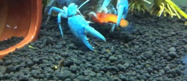 Jenis Makanan Lobster Air Tawar Alami yang Bagus dan Cepat Besar
