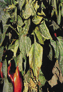 Gambar Gejala kekurangan kalium pada paprika