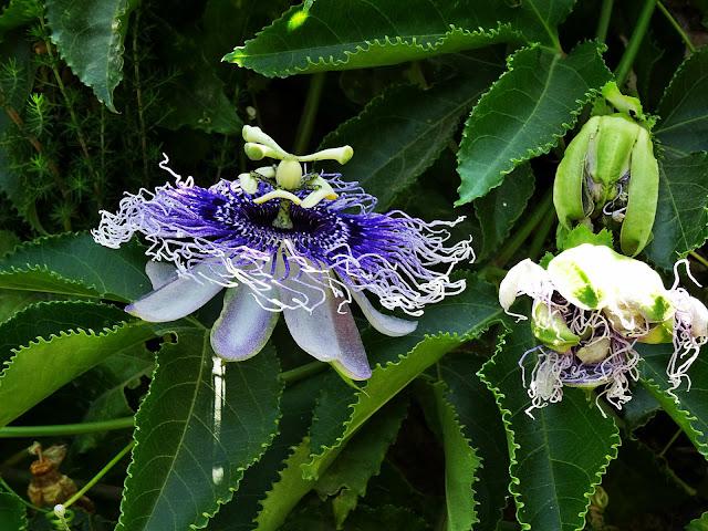 Kwiat passiflory jak wygląda?