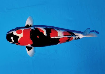 Ikan koi showa sansoku