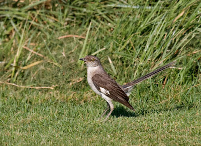 Photo of Northern Mockingbird on the lawn