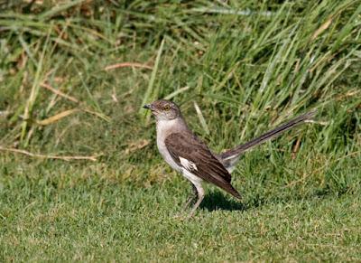 Photo of Northern Mockingbird on the lawn