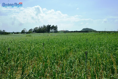 Vương quốc tỏi vào mùa thu hoạch