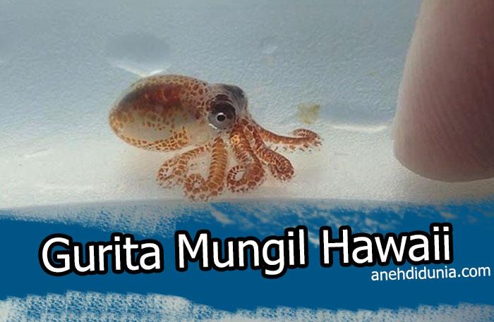 Gurita Mungil Hawaii
