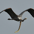 Photographer captures eel snake manages to escape inside heron's stomach mid-air