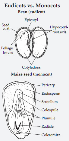 Seeds structure