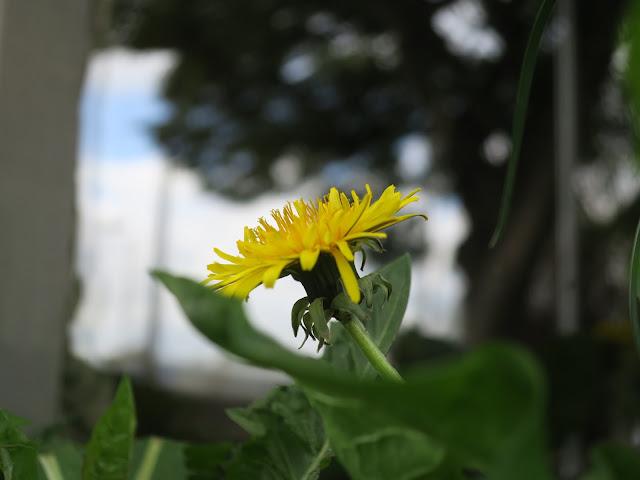 Dandelion flower in window box. May 2nd 2020.
