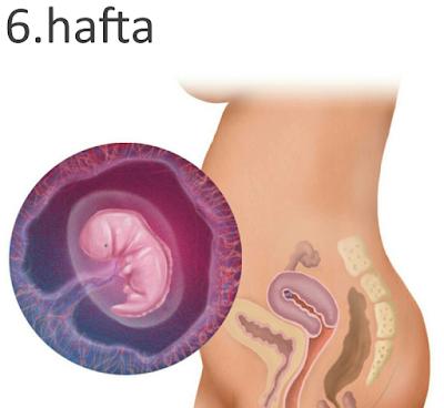 6 haftalık gebelik görüntüsü
