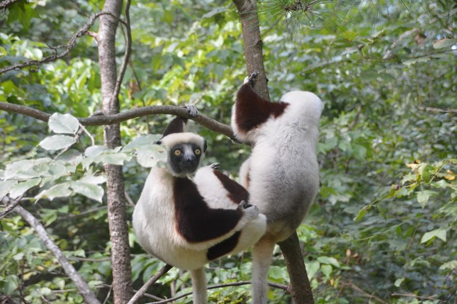 lémuriens dans la forêt de Duke