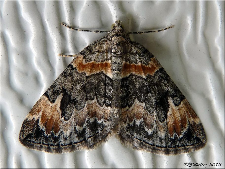 The Home Bug Garden: Moth Week Wrap-up: Ending with a bang ...