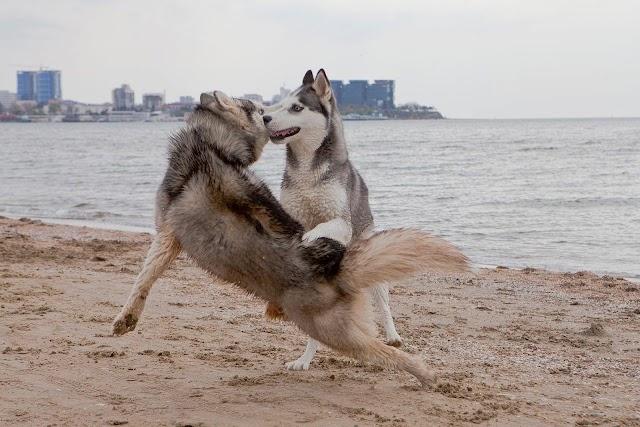 Να γιατί ο σκύλος «καβαλάει» τους άλλους σκύλους και το πόδι μας
