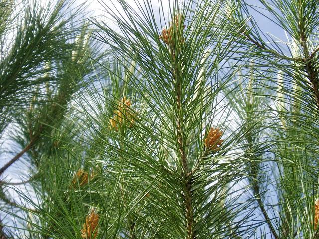 pino-piñonero-pinus-pinea