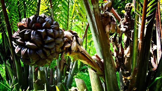 Cara Mengolah Buah Nipah, manfaat daun nipah