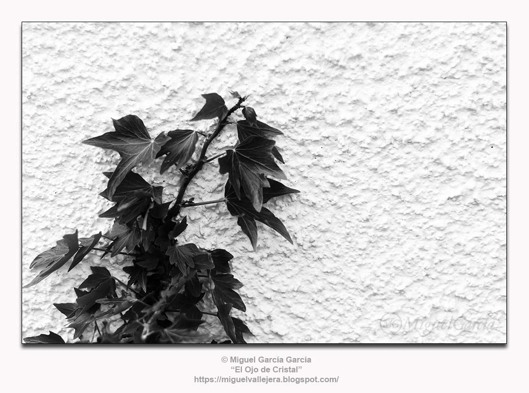 La hiedra aferrándose a un muro encalado.