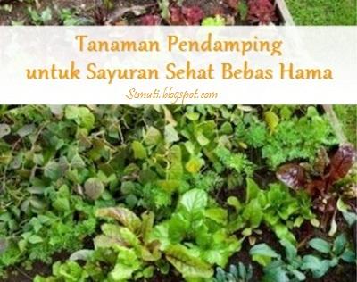 Daftar Tanaman Pendamping untuk Sayuran Sehat Bebas Hama